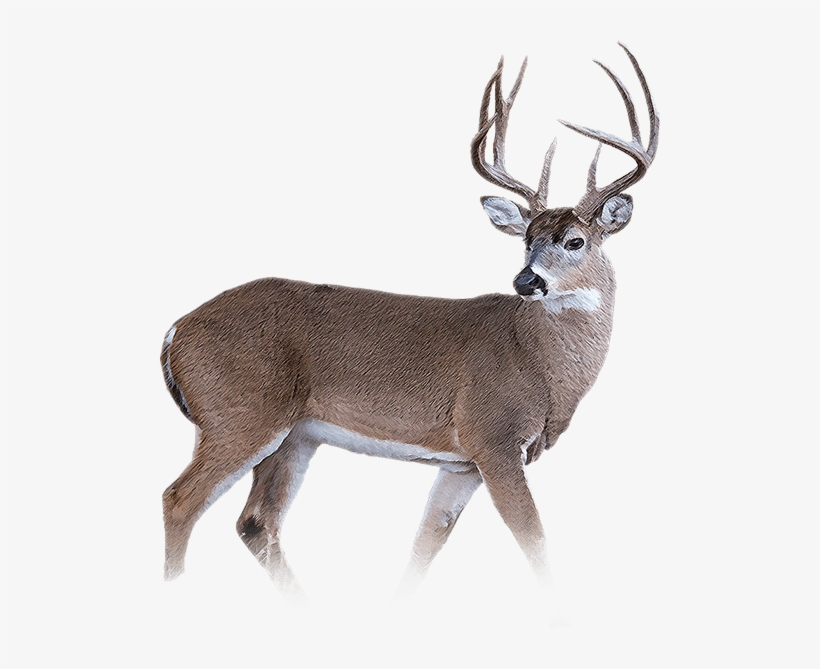 Whitetail Deer Png - White Tailed Deer Png , (+) Pictures - trzcacak.rs