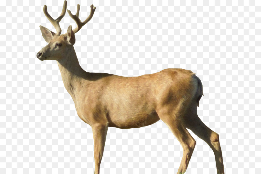 Whitetail Deer Png - White Tailed Deer Png, TransParent PNG, (+) - Free Download | omii ...