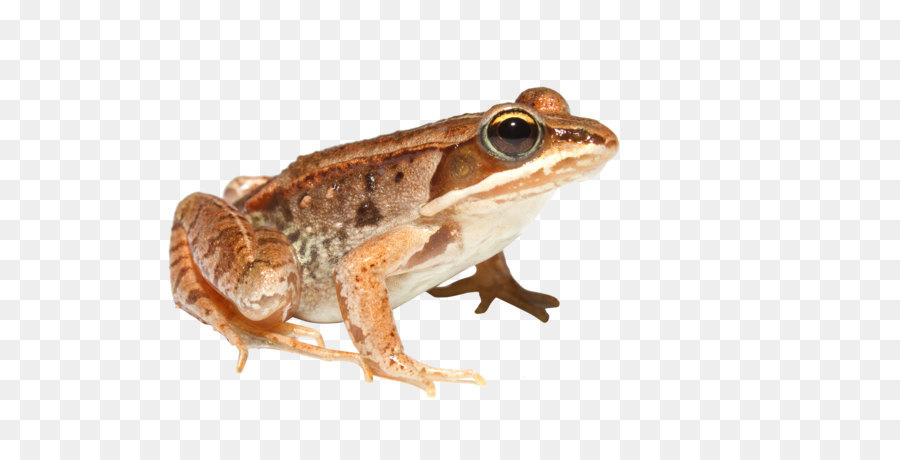 Toad 5png - Wood frog American bullfrog Boreal forest of Canada Amphibian ...