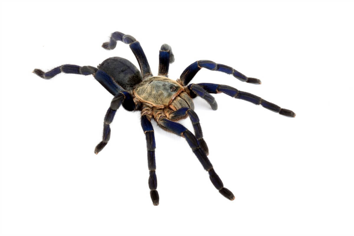 Cobalt Blue Tarantula Png - Would you put your hand in this spider nursery for $100,000 ...