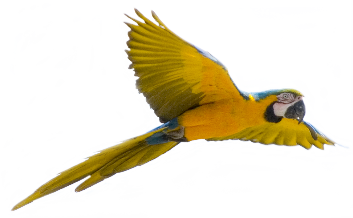 Parrots Png - Yellow flying parrot PNG images, free download