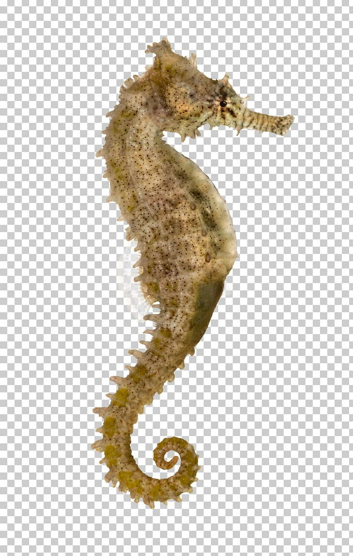 Syngnathidae Png - Yellow Seahorse Pacific Seahorse Longsnout Seahorse Syngnathidae ...